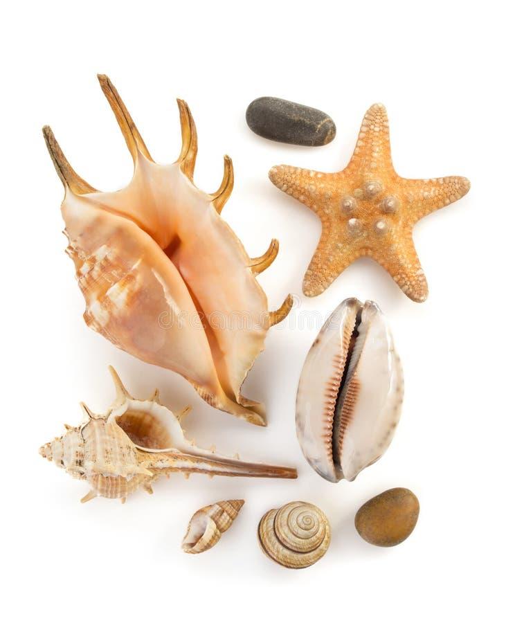 Concha marina en blanco fotografía de archivo