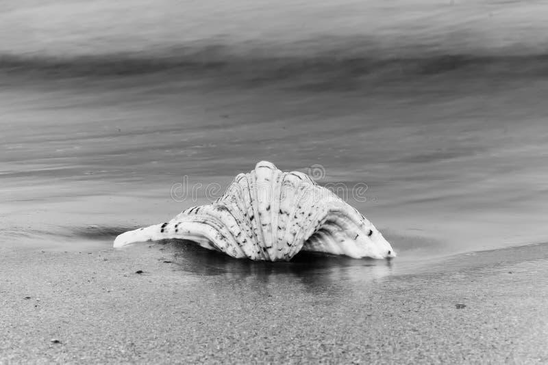 Concha marina en blanco y negro contra el mar foto de archivo