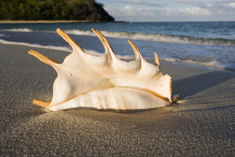 Concha marina en una playa en Fiji imagen de archivo