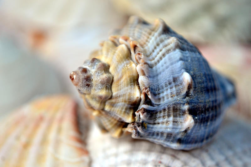 Concha marina - geometría sagrada imagen de archivo