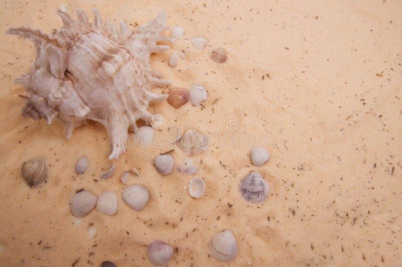 Concha marina hermosa que miente en la arena de oro fotografía de archivo libre de regalías