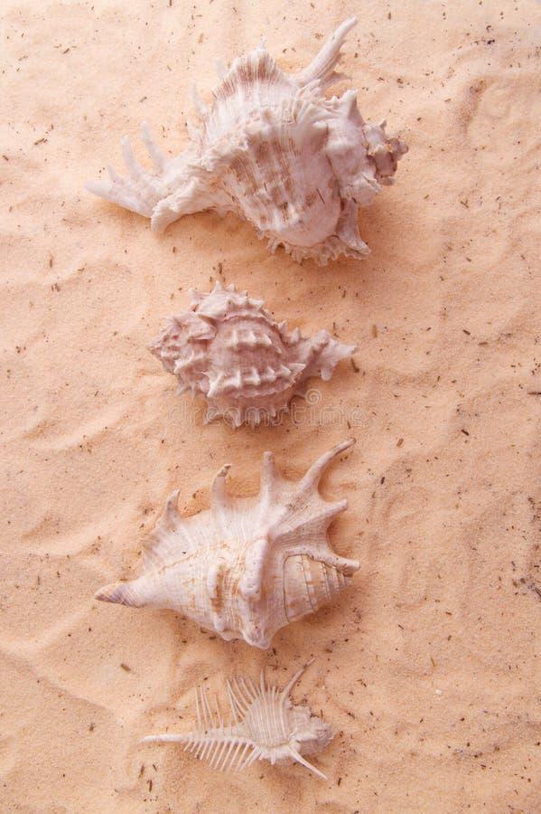 Concha marina hermosa que miente en la arena de oro fotos de archivo