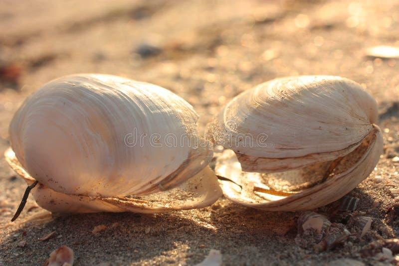Concha marina Puesta del sol, foco suave, selectivo foto de archivo libre de regalías