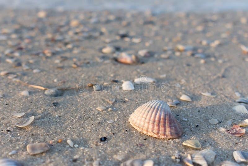 Concha marina rosada en la arena blanca en la playa del mar Concepto de las cáscaras Playa vacía con las conchas marinas Concepto imagen de archivo libre de regalías