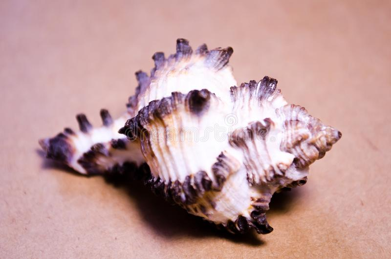 Concha marina Concha marina Un shell Cáscara del recuerdo Vida marina Los habitantes del mar Brown y cáscara blanca imagen de archivo libre de regalías