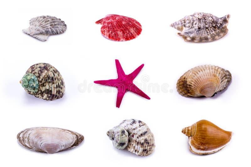 Concha marina y estrellas de mar fijadas - aislado en el fondo blanco fotografía de archivo