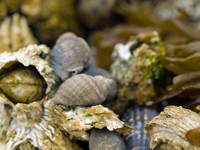 Concha marina y lapas en rocas fotos de archivo libres de regalías