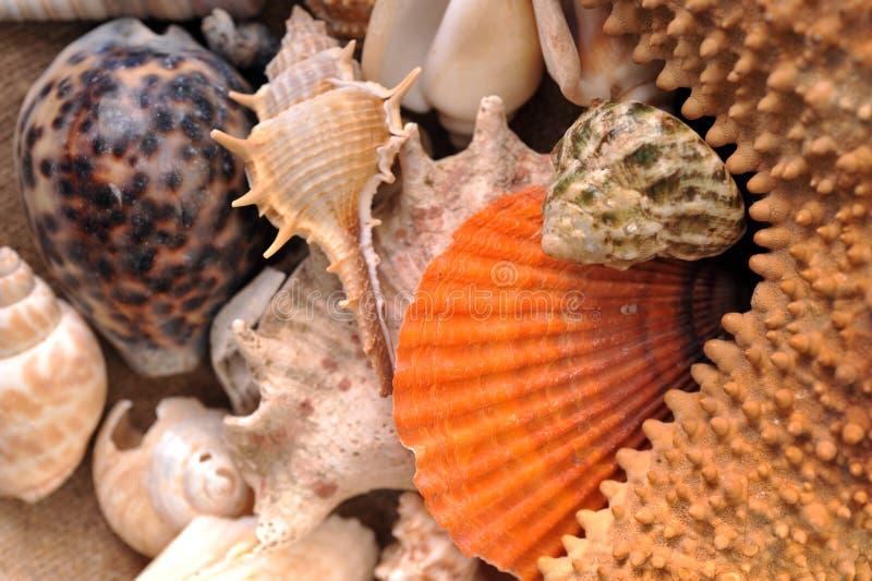 Conchas de berberecho del mar fotografía de archivo libre de regalías