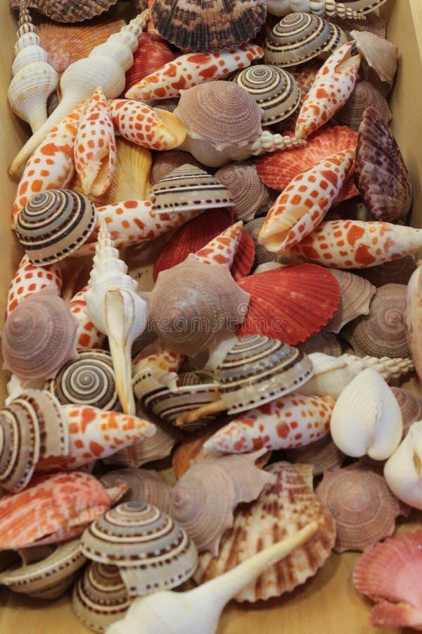 Conchas do mar coloridas - nautilus foto de stock