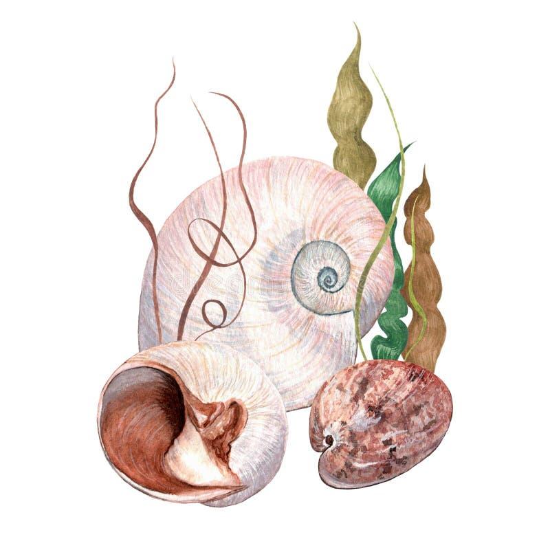 Conchas do mar delicadas da aquarela ilustração do vetor