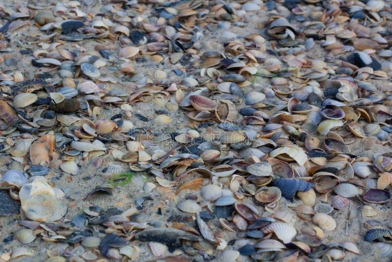 Conchas do mar e moluscos em areias litorais, seascape arenoso fotografia de stock royalty free