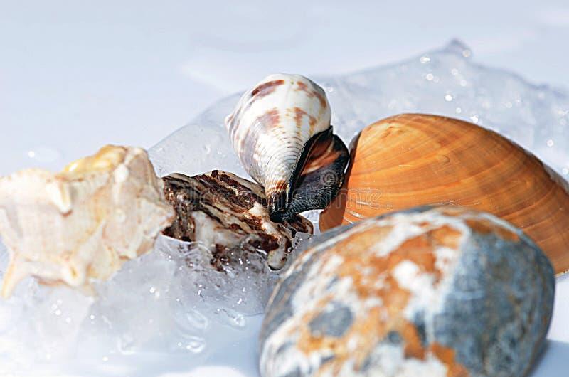 Conchas do mar entre geleiras foto de stock