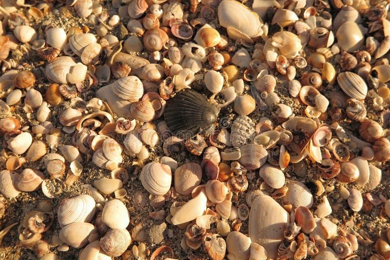 Download Conchas marinas foto de archivo. Imagen de marina, modelo - 41915518