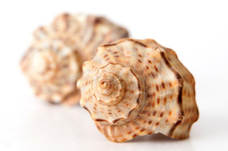 Download Conchas marinas imagen de archivo. Imagen de blanco, punta - 64209477