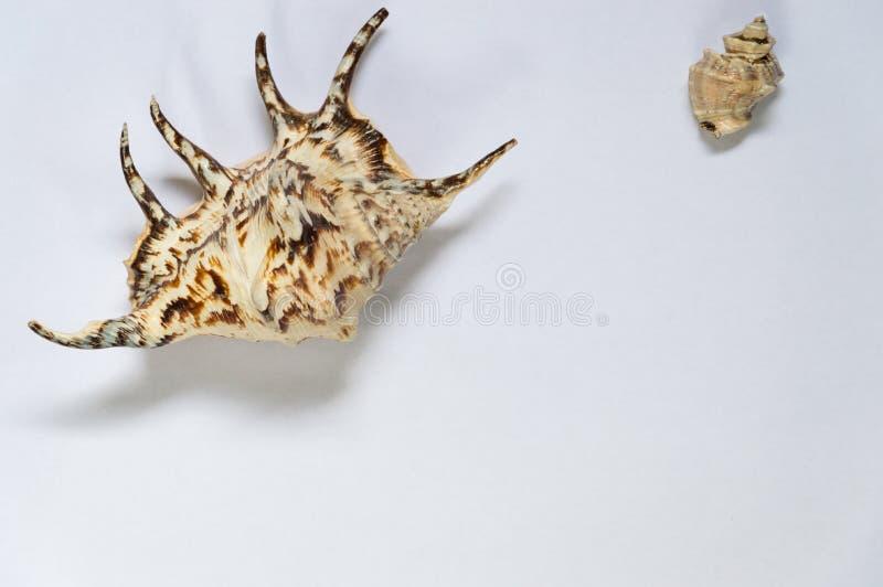 Conchas marinas aisladas con el fondo blanco imagenes de archivo