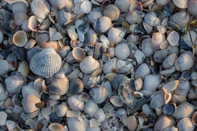 Conchas marinas azules, grises y blancas en luz del sol de la mañana Concepto de las cáscaras Cáscaras en la playa del mar Concep fotos de archivo libres de regalías