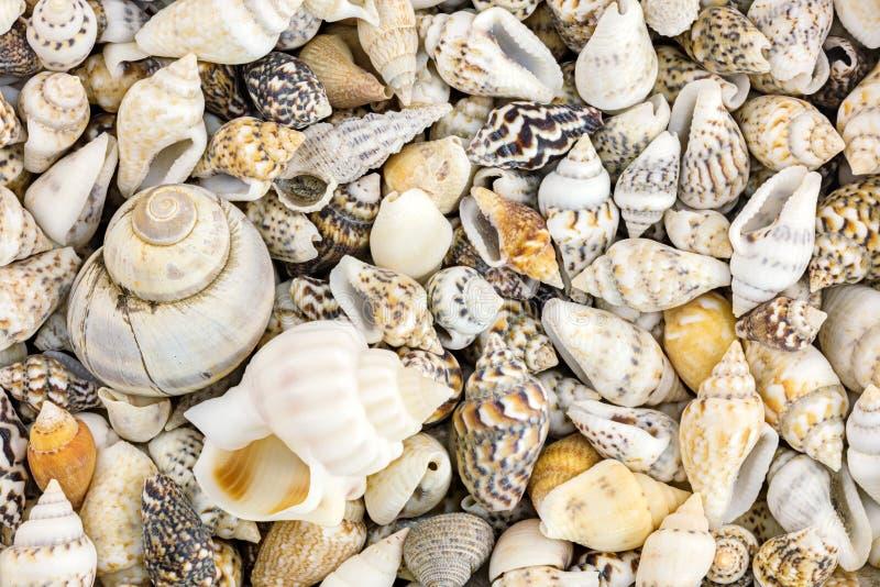 Conchas marinas coloridas con la cáscara del caracol de mar Fondo del verano imagenes de archivo