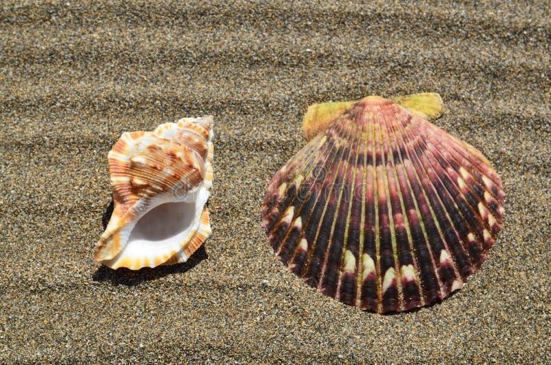 Conchas marinas en la arena de la playa del océano con el espacio de la copia El fondo natural para el verano, viaja, se relaja y fotos de archivo libres de regalías