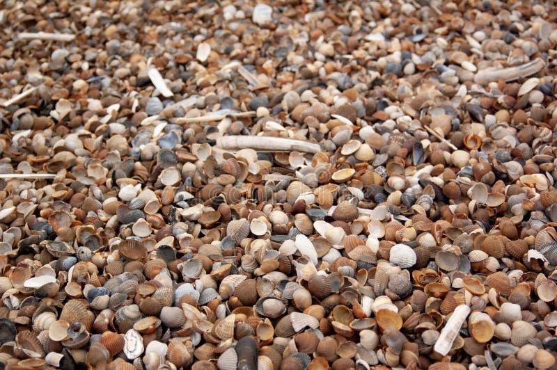 Conchas marinas y almejas en las arenas costeras imágenes de archivo libres de regalías