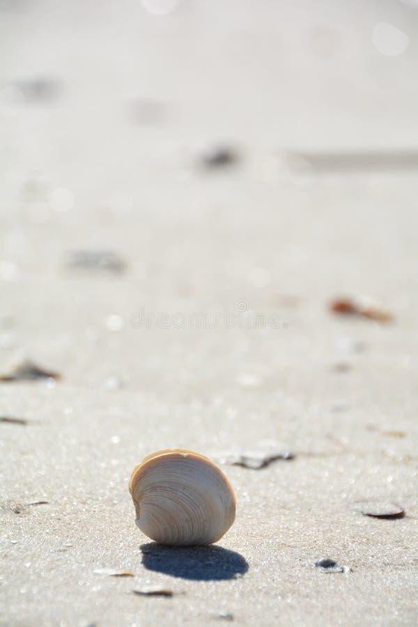 Conchiglia sola sulla spiaggia sabbiosa immagine stock
