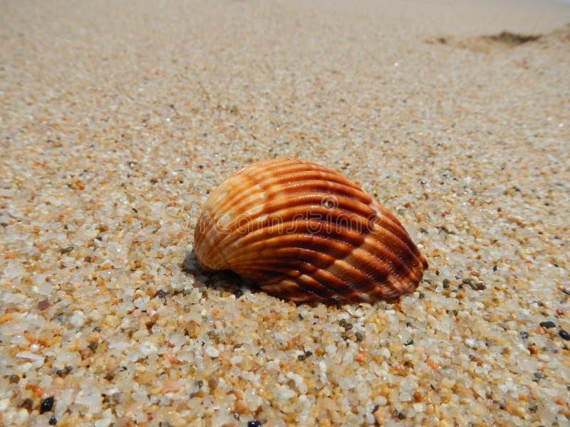 Conchiglia su una spiaggia immagini stock