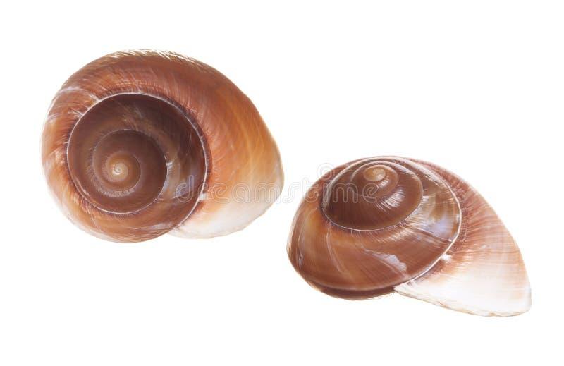 Conchiglie di spirale di Brown immagini stock