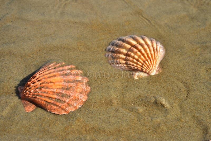 Conchiglie in sabbia bagnata della spiaggia, Baja, Messico immagine stock libera da diritti