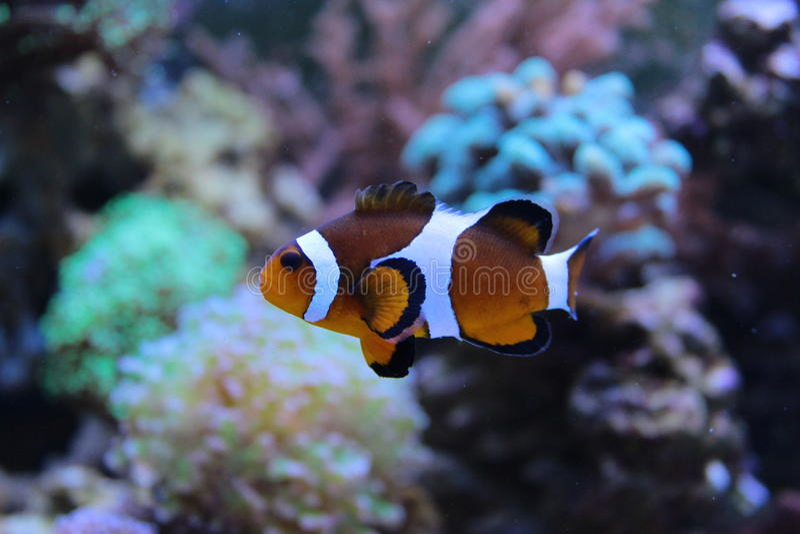 Conclusion de Nemo dans l'aquarium photographie stock