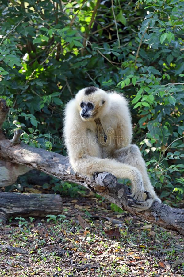 Concolor de Nomascus Close-up com crista branco-cheeked fêmea de Gibbon imagens de stock royalty free