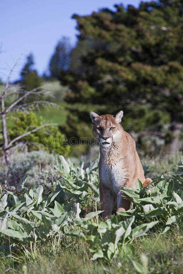 Concolor de puma de puma photo stock