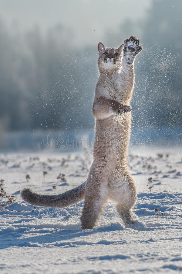 Concolor del puma del puma, tambi?n conocido com?nmente como el le?n de monta?a, el puma, la pantera, o el catamount es el más gr fotos de archivo libres de regalías
