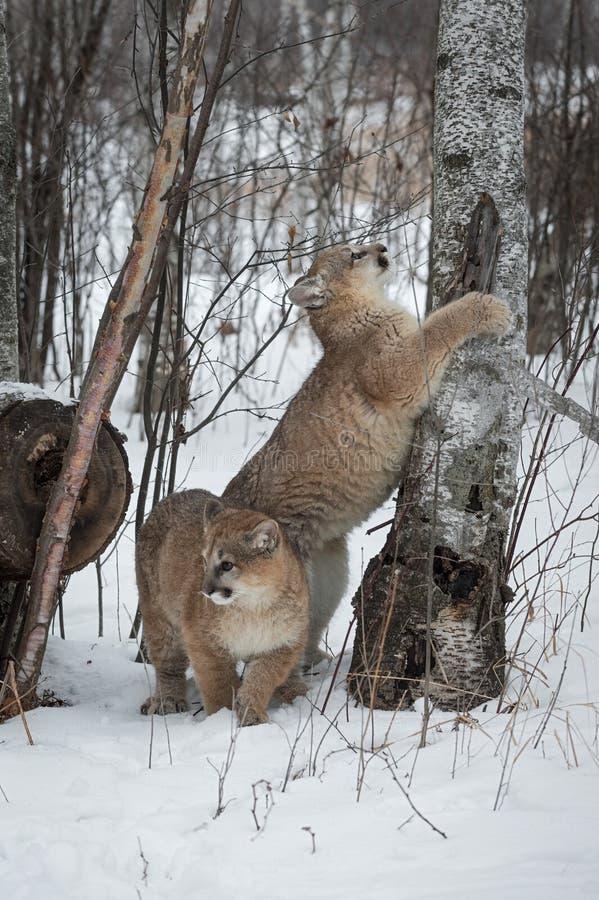Concolor do puma dos pumas e inverno fêmeas das árvores de vidoeiro fotos de stock royalty free