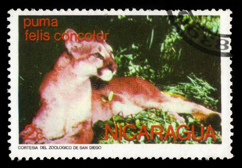 Concolor do puma do puma imagens de stock royalty free