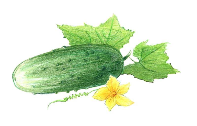 Concombre avec les feuilles et la fleur Dessin avec les crayons color?s, d'isolement sur le fond blanc illustration stock