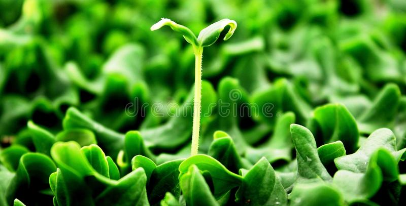 Concombre de Melong ou germination de jeunes plantes de cucumbid photos stock