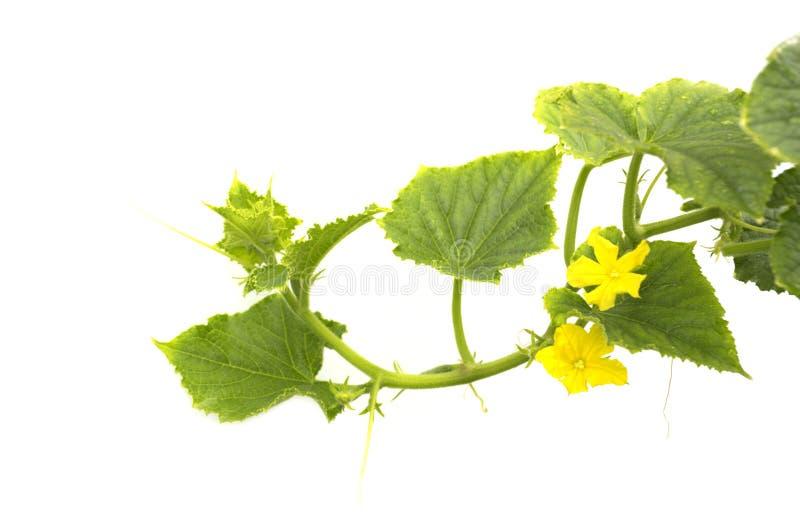 Concombres fleurissants photos stock
