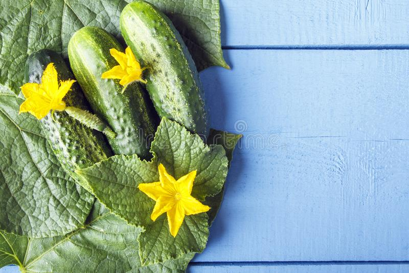 Concombres organiques frais et fleurs jaunes sur les feuilles vertes Vue supérieure sur la table en bois avec l'espace de copie C image stock