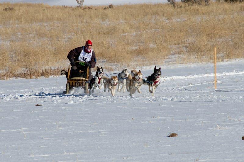 Concorrente di Rocky Mountain Sled Dog Championships immagine stock