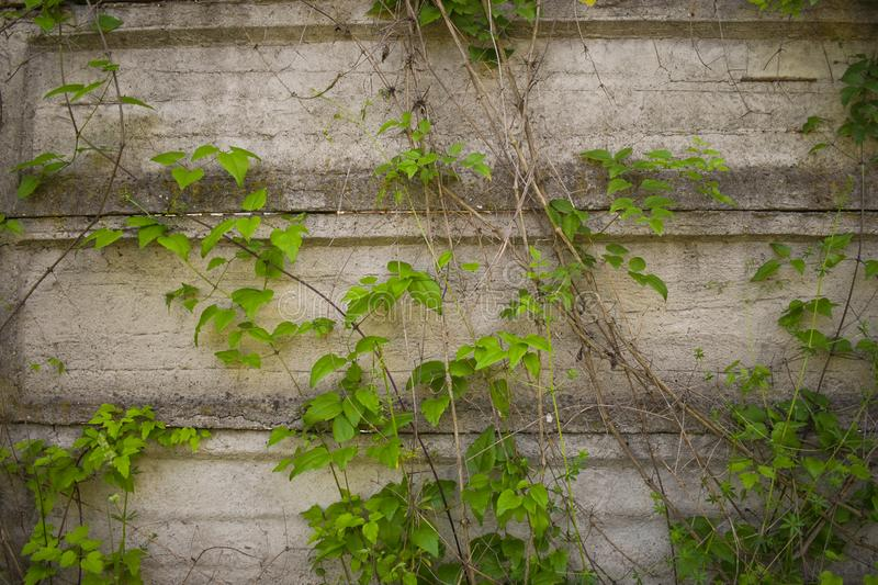 Concrete gray grunge fence with green climbing ivy on his surface. Styled stock photography with grunge detais useful for stock photography