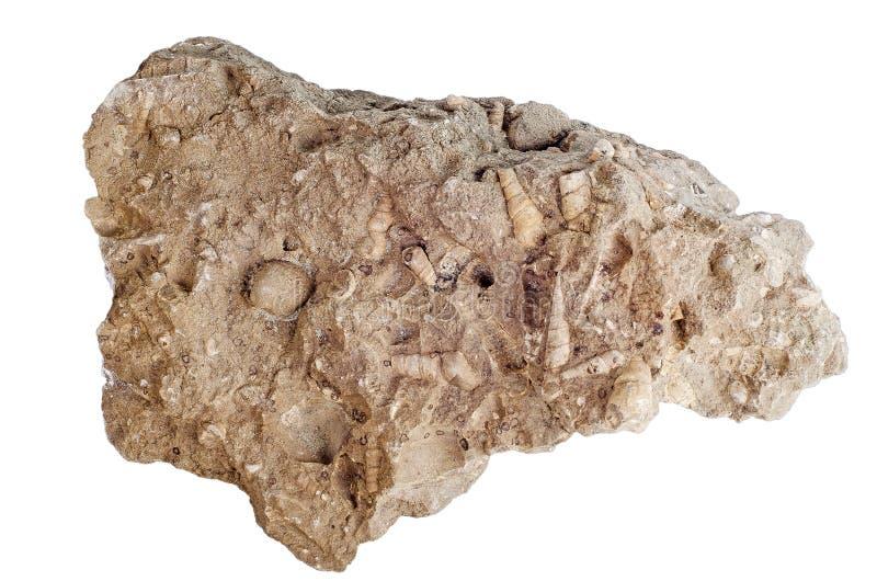 Concretie met de verstarde familie van overzeese shells Turritellidae stock foto