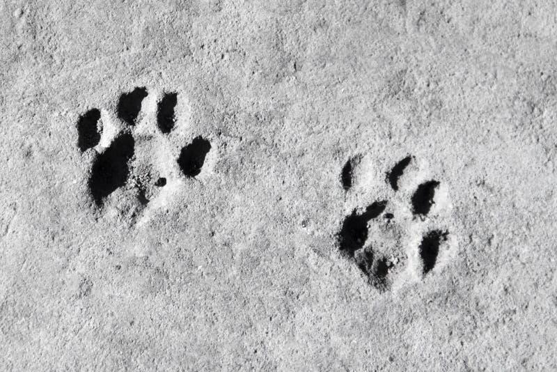 concreto Textura Huella del gato en fondo gris fotografía de archivo
