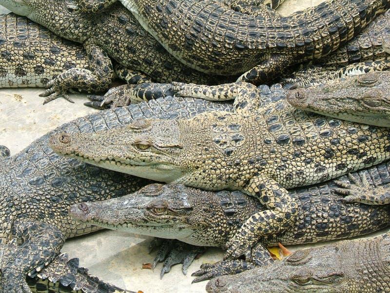 Concurrence contre des alligators photos libres de droits