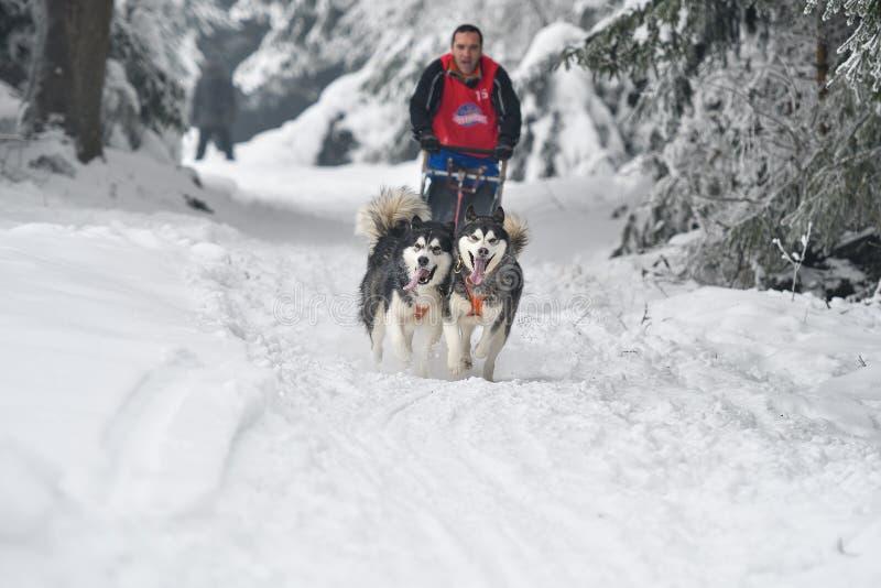 Concurrence de traîneau de chien photos libres de droits