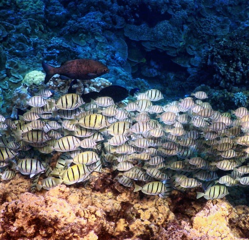 Condamnez les poissons vus tout en nageant outre de la grande île, Hawaï image libre de droits