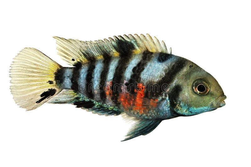 Condene los pescados del acuario de los cichlids de la cebra del nigrofasciata de Amatitlania del cichlid imagen de archivo libre de regalías