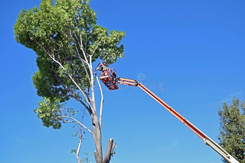 Condensadores de ajuste del árbol prunning las ramas altas para arriba en un árbol de eucalipto fotografía de archivo libre de regalías