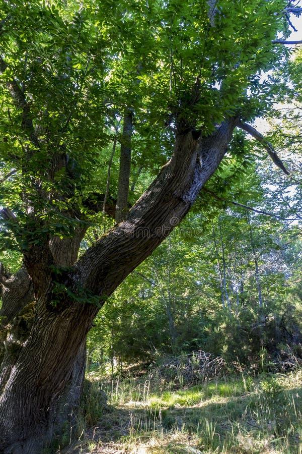 Condisca, vecchia e foresta antica della castagna nella provincia di Zamor illustrazione vettoriale