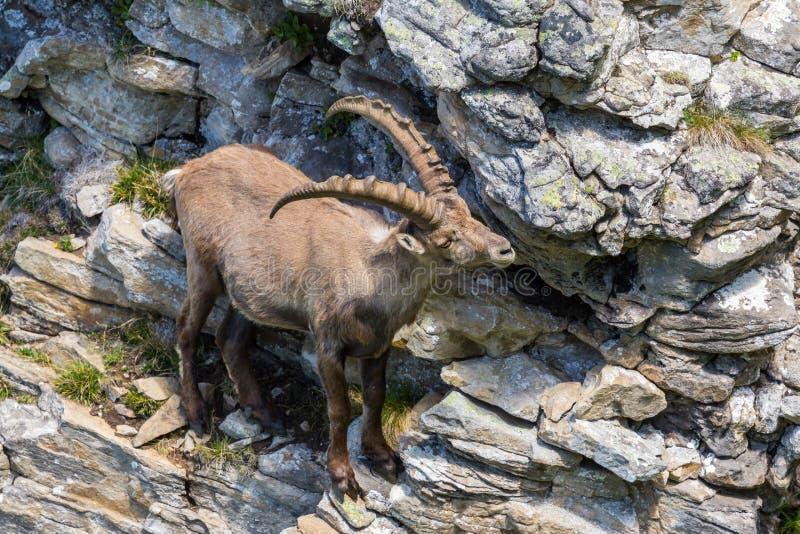 Condizione alpina adulta di capricorno di capra ibex in scogliera della roccia fotografia stock libera da diritti