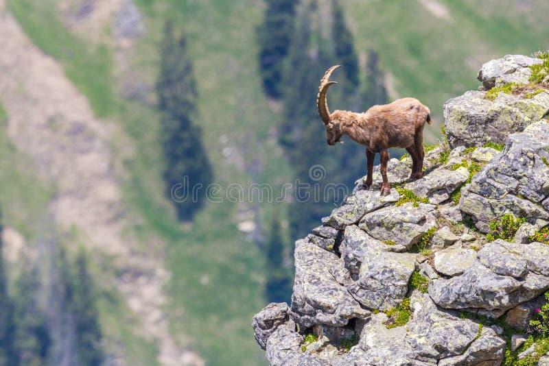 Condizione alpina adulta di capricorno di capra ibex sulla roccia con la vista della valle fotografia stock libera da diritti