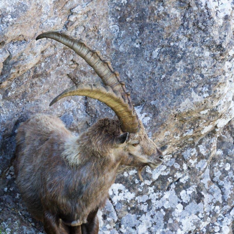 Condizione alpina adulta di capricorno di capra ibex di vista vicina nelle rocce immagini stock